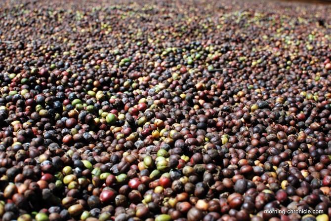 Grains de café Boloven séchant au soleil