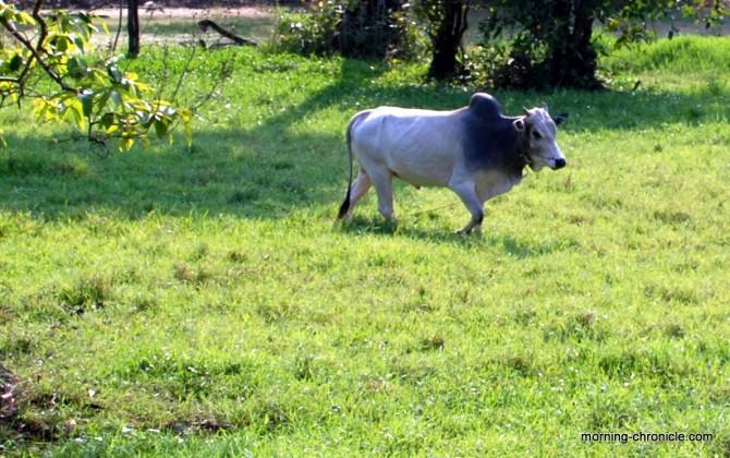 Vache à bosse au Cambodge