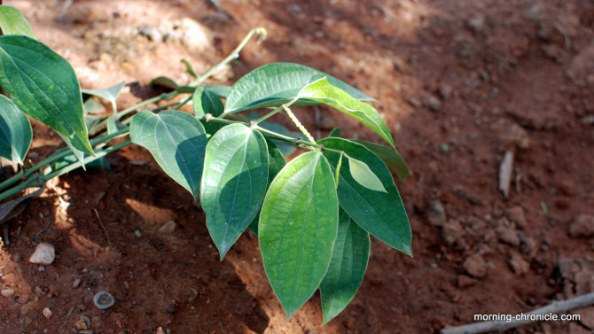Plant de poivrier