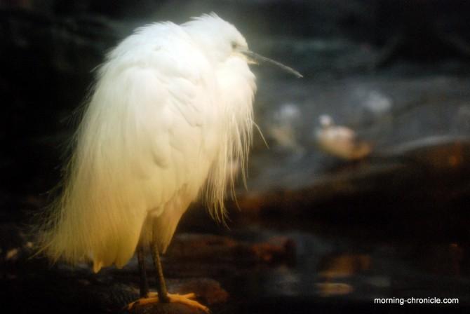 Magnifique et rare Héron blanc