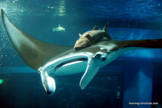 Raie manta, aquarium de Osaka