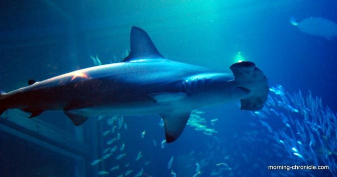 Requin marteau (dans un bocal)