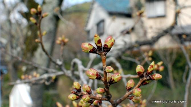 Bourgeons de cerisier