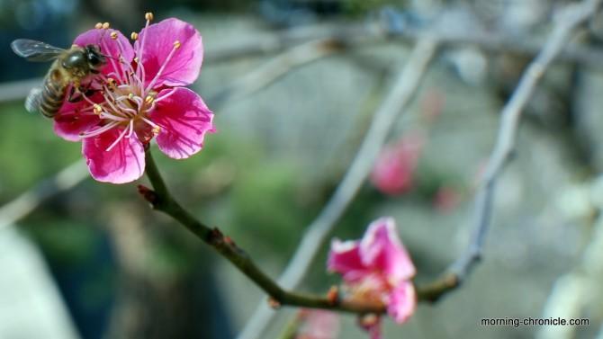Fleur dans le parc Nijo