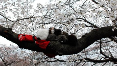 Sakura ! La floraison des cerisiers au Japon