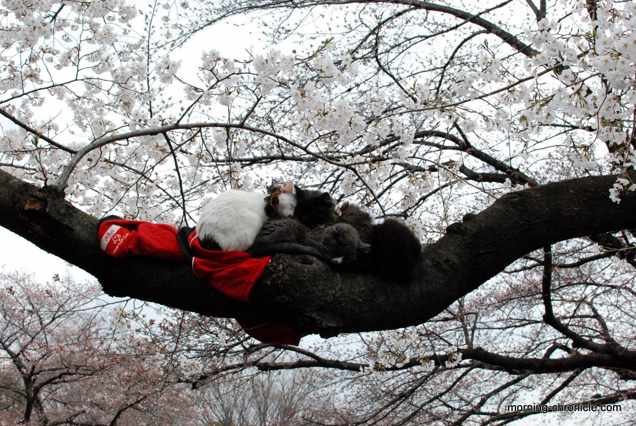 sakura la floraison des cerisiers au japon morning chronicle. Black Bedroom Furniture Sets. Home Design Ideas