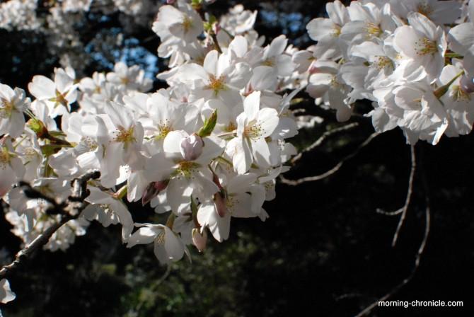Printemps des cerisiers