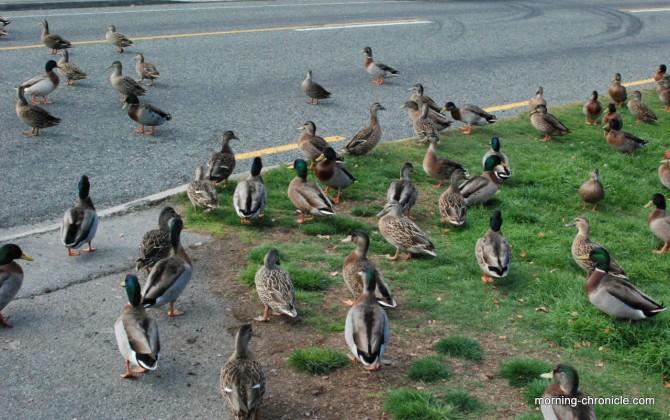 Traversée des canards = bouchon !