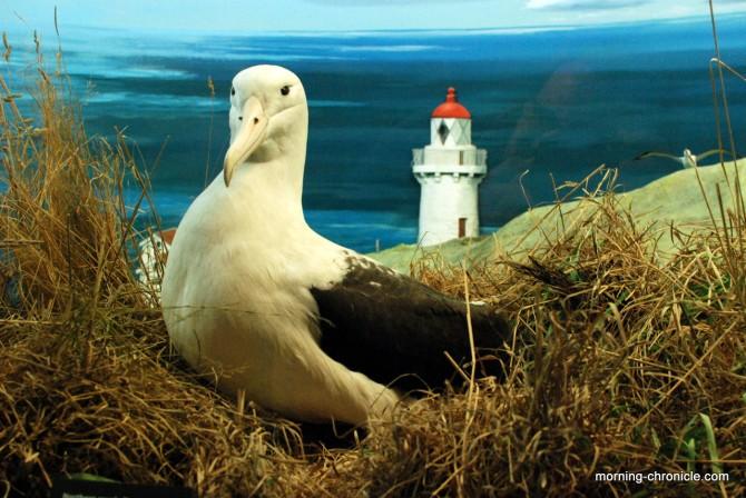 Albatros Royal (pour de faux)