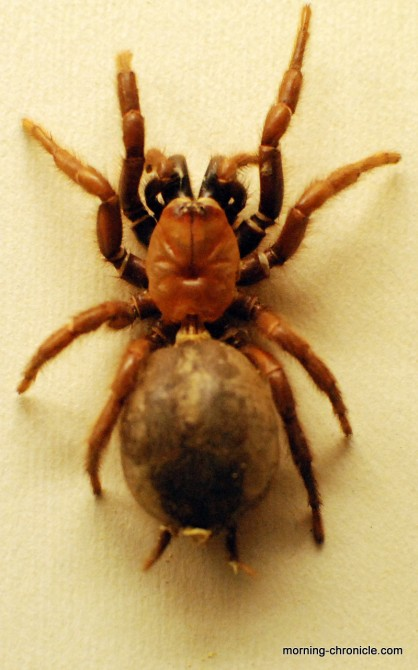 Araignée Nouvelle-Zélande