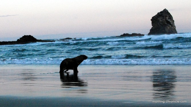 Superbe lion de mer