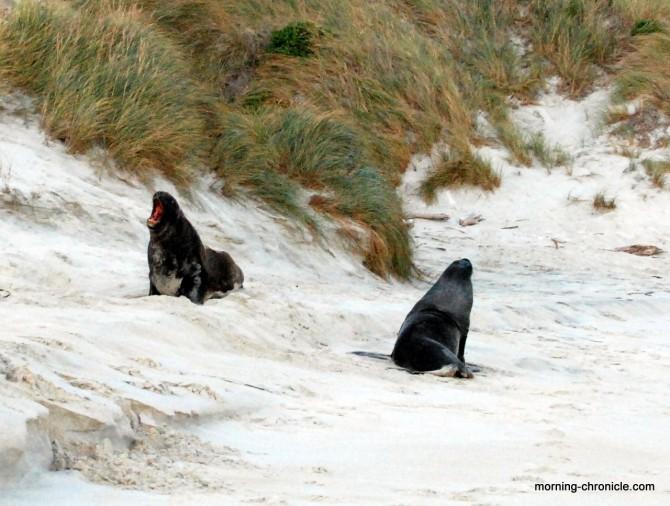 Lions de mer peu commodes