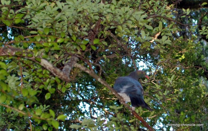Pigeon sauvage en forêt