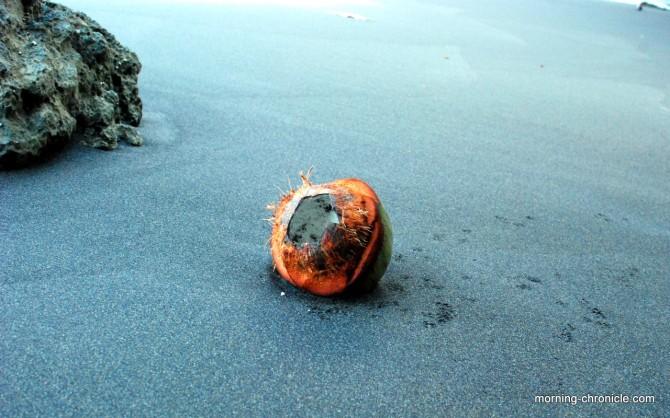 Coco nut on the black beach