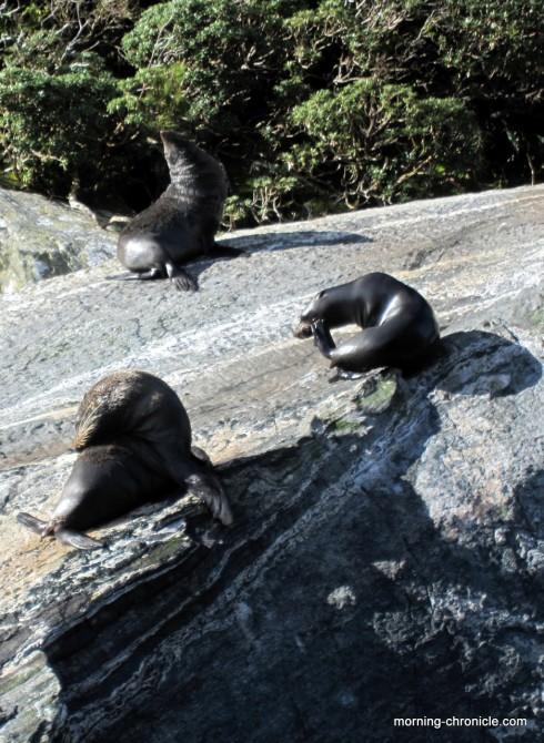 Lions de mer à Milfjord sound