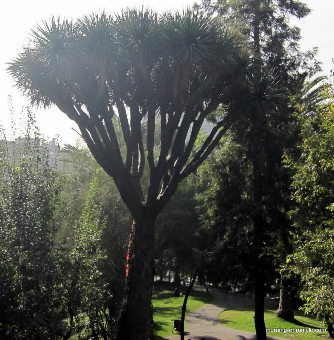 Palmier chilien