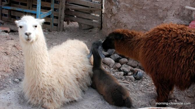 Famille de lamas