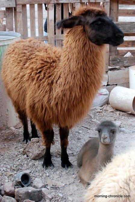 Papa et bébé Lama