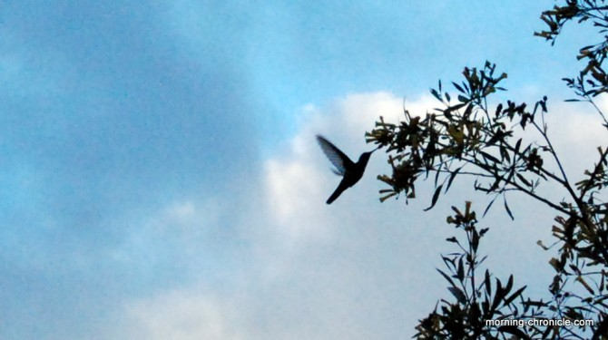 Colibri en plein vol