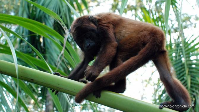 Bambou mono