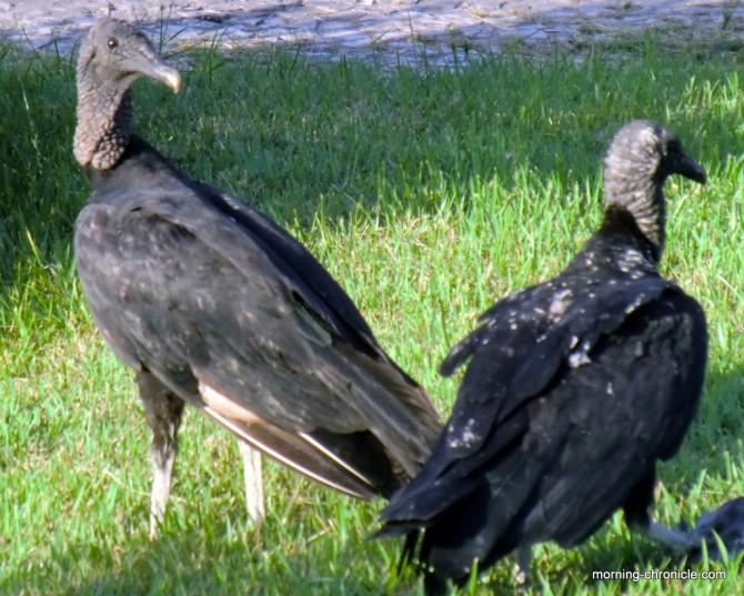 Les vautours de Belém